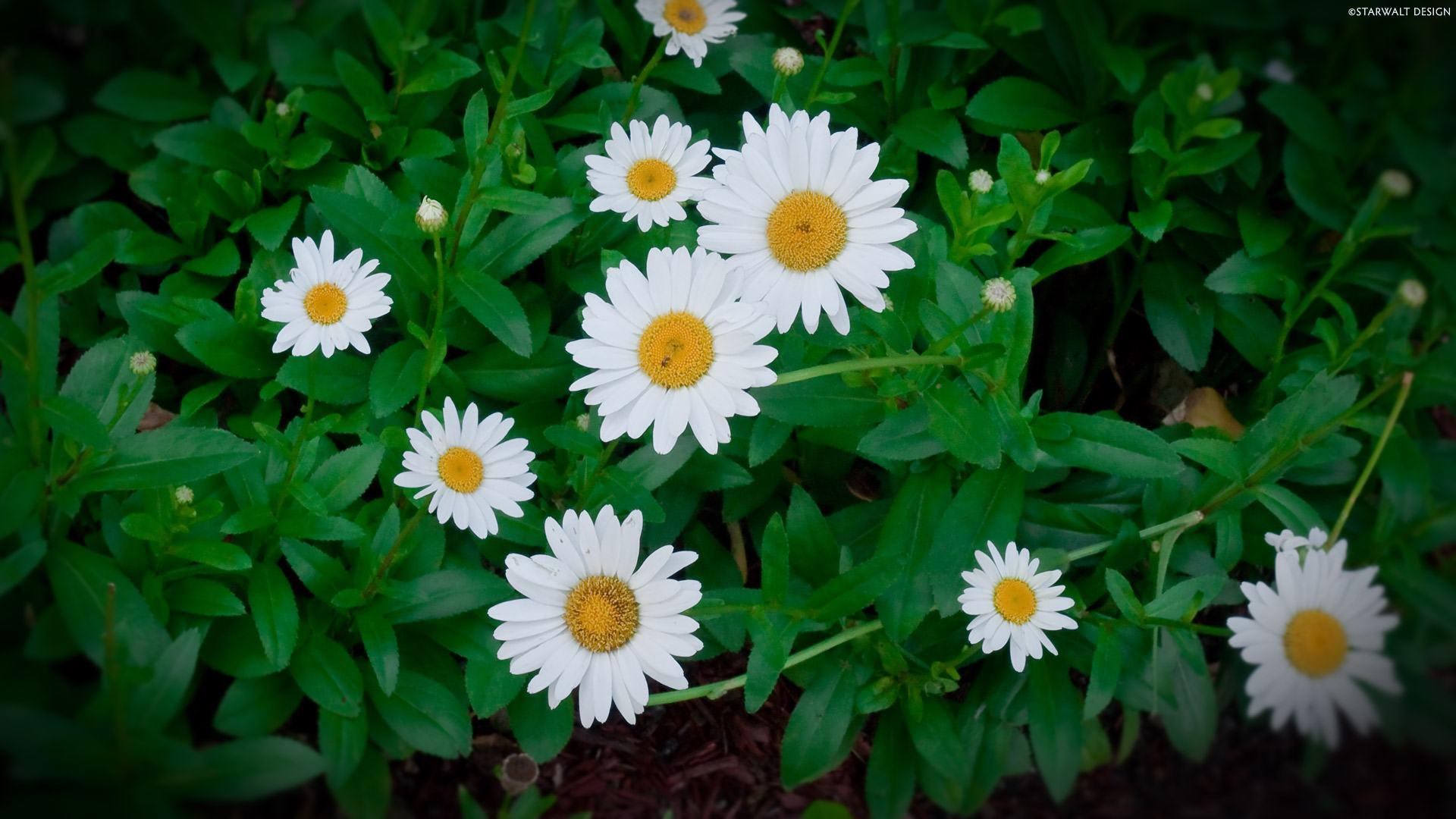 hoa cúc mắt bò