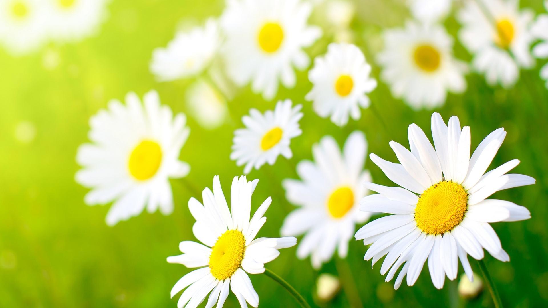cánh đồng hoa cúc