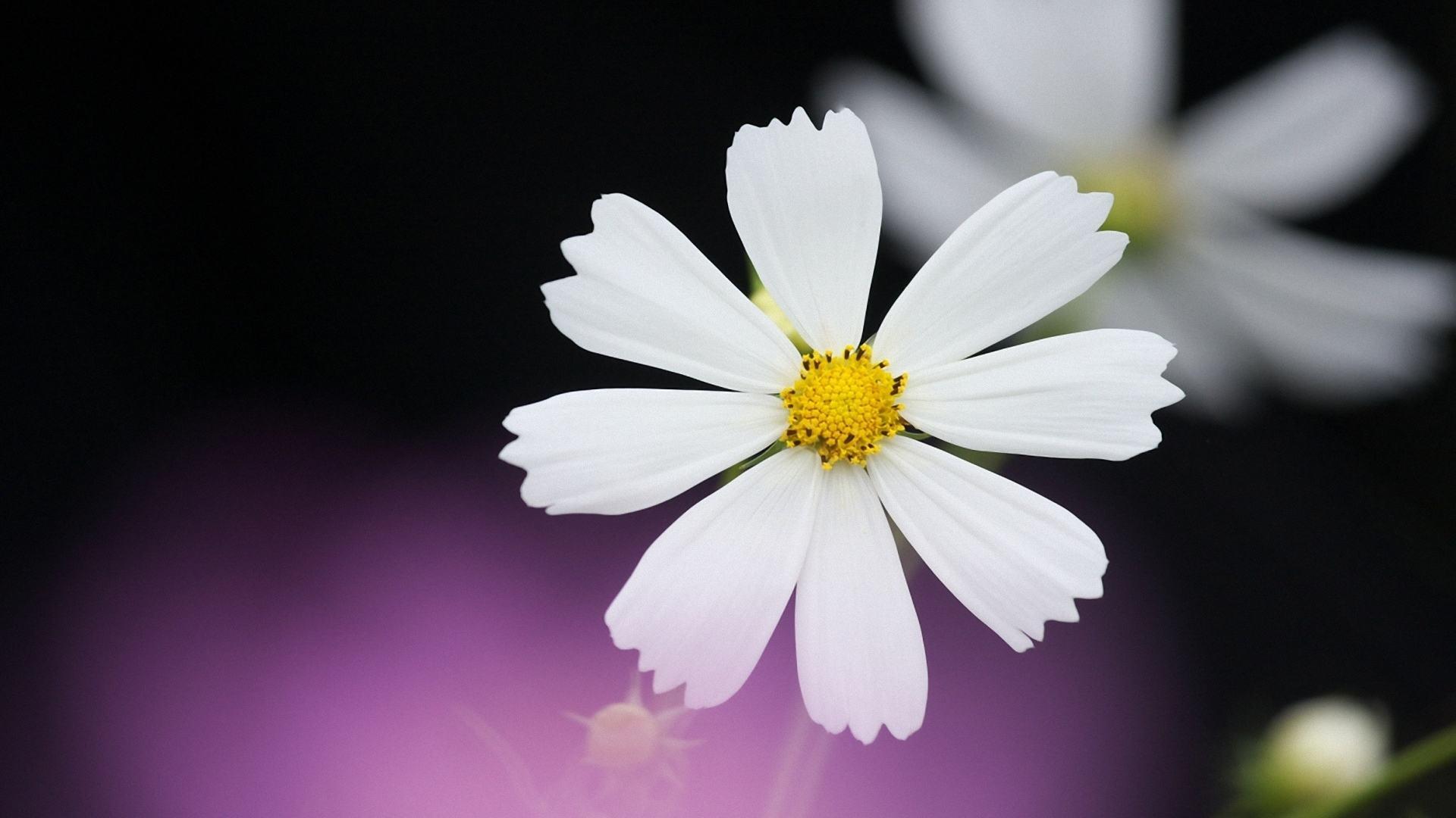 mỏng manh hoa cúc