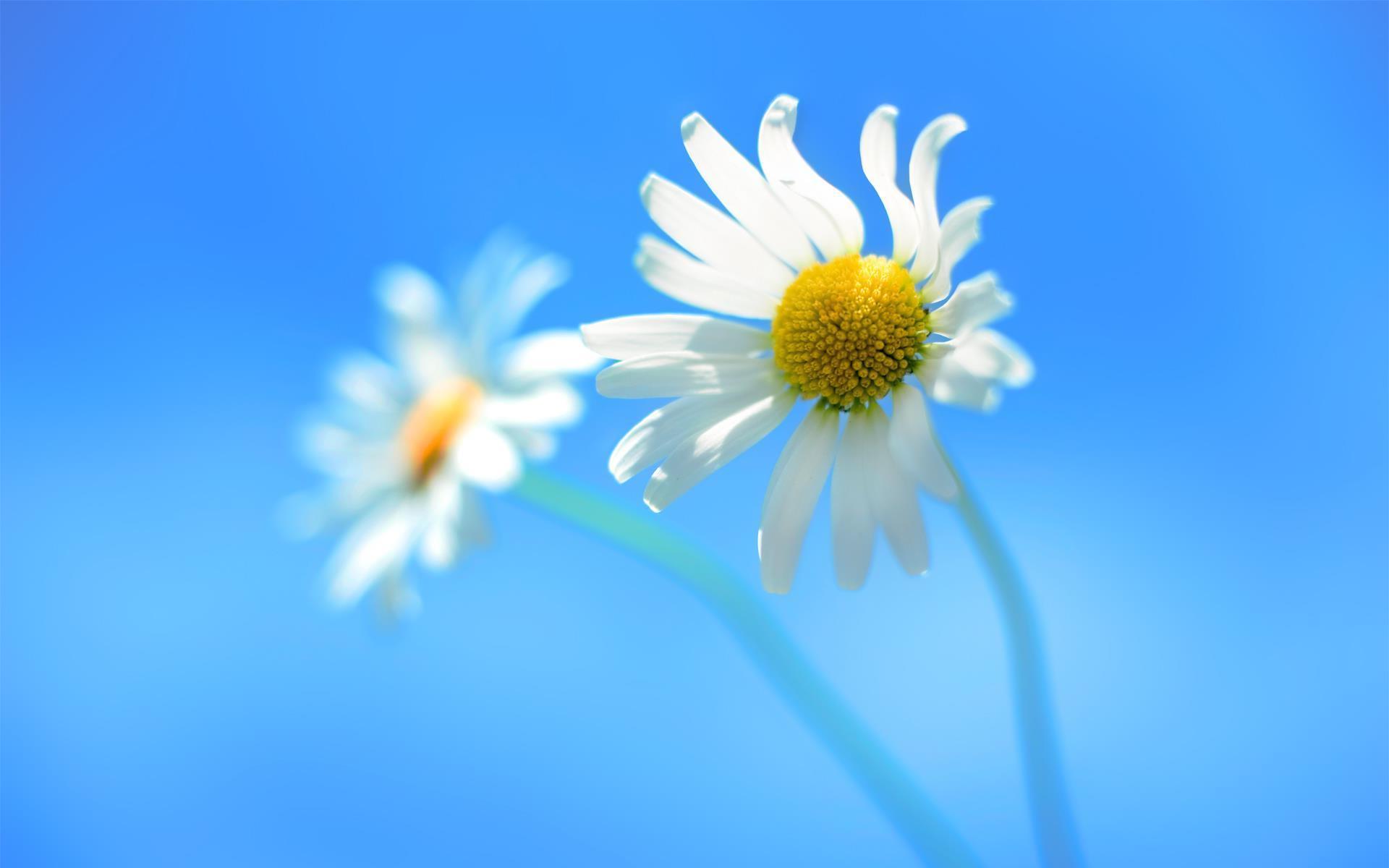 Ảnh hoa cúc màu trắng
