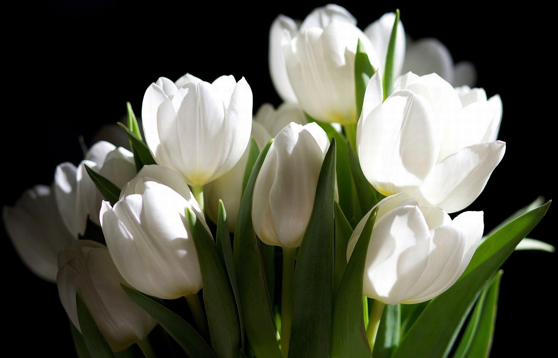 hình nền hoa tulip