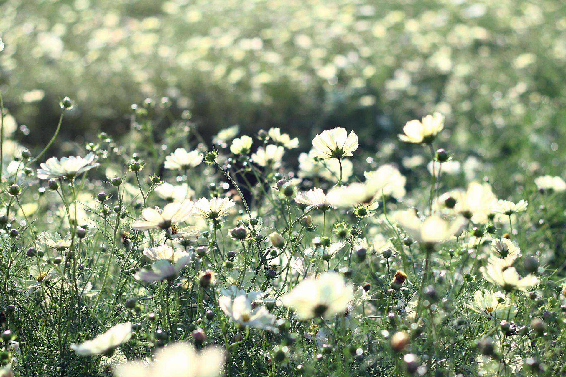 hoa cúc sao nháy