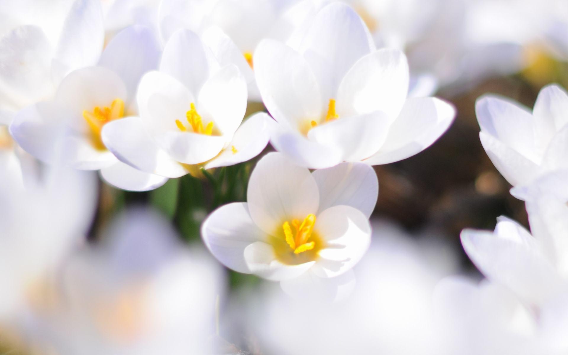 hình nền hoa màu trắng