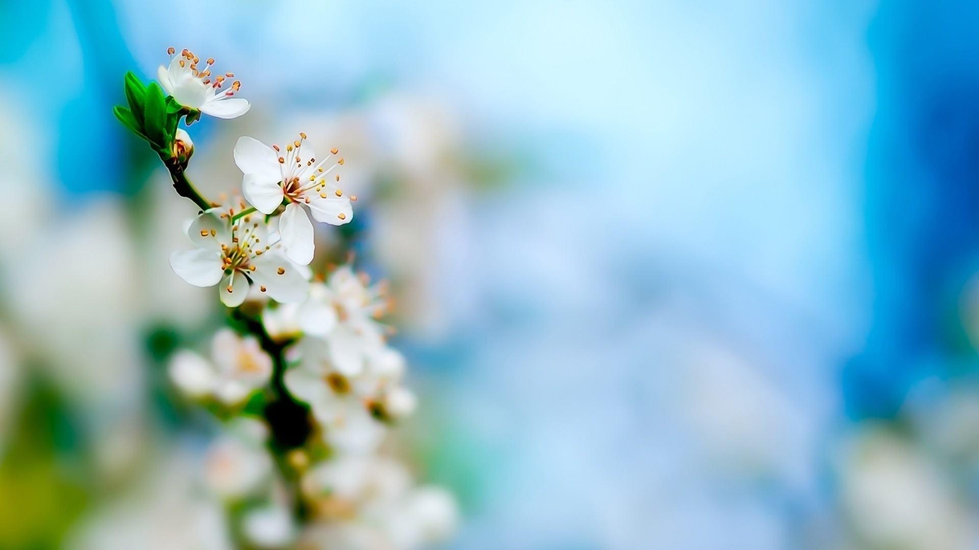 hoa đào trắng - bạch đào