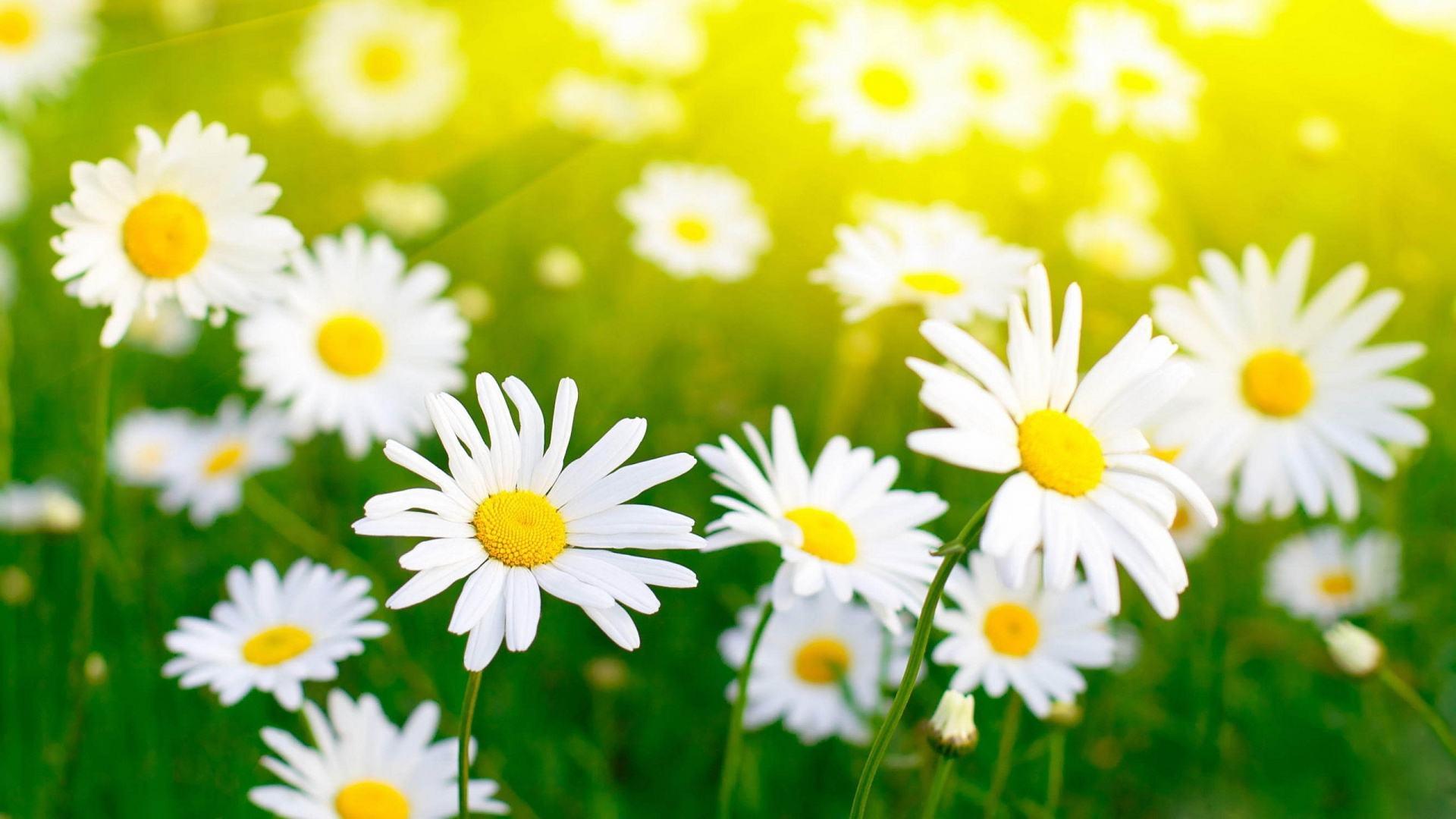 hình nền hoa cúc trắng