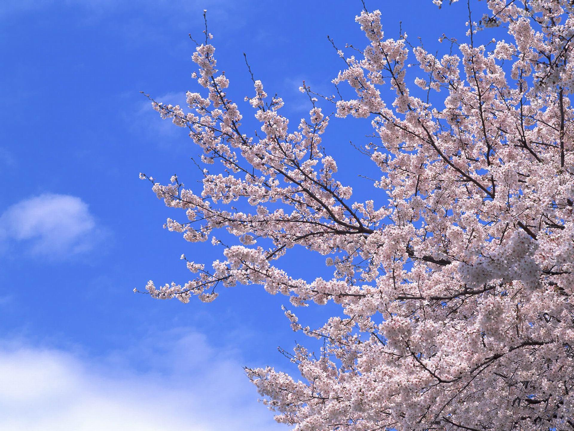 ảnh hoa đào đẹp nhất