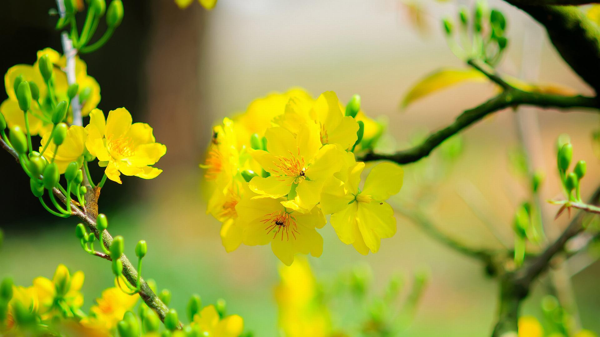 ảnh hoa mai đẹp nhất